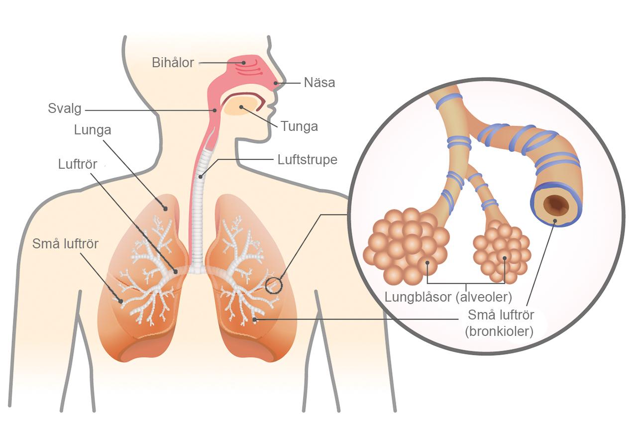 fibros i lungorna